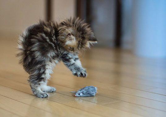 Kitten attacks toy mouse