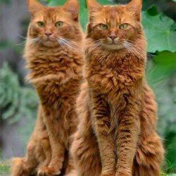 Orange cats