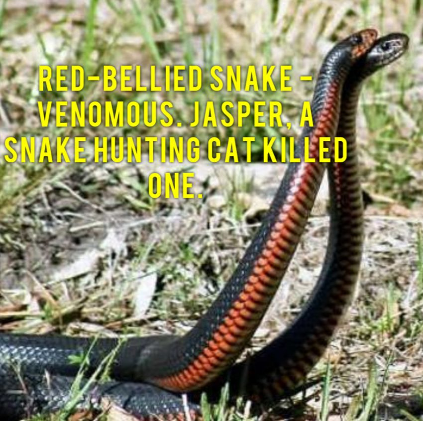 Snake killed by domestic cat