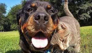 Cat friends with Rottweiler