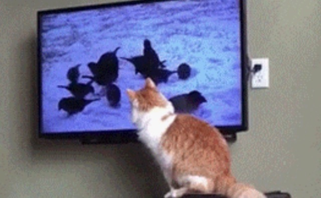 Cat watching birds on television