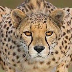 Cheetah black tear lines