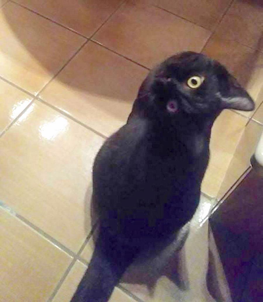 Cat looks like crow lightened