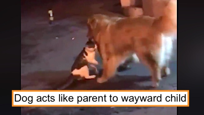 Dog acts like parent to wayward child