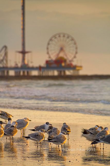 Galveston beach and seagulls