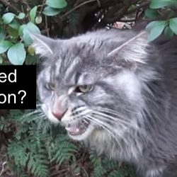 Intimidated Maine Coon?