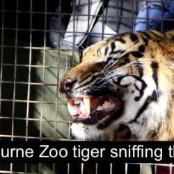 Melbourne zoo tiger Flehmen response