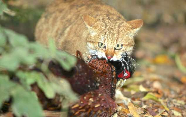 Pheasant killing cats banned from Sandringham estate by order of the Queen