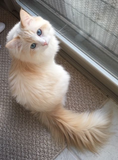 Pretty female Ragdoll cat