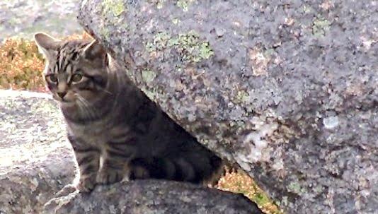 Scottish wildcat kitten Oct 2018