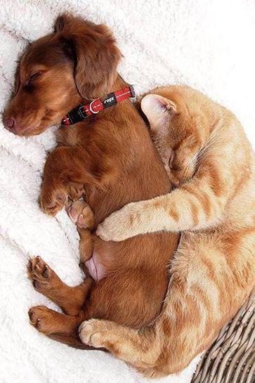 Super cute cat cuddles dog
