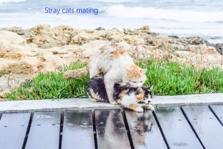 Stray cats mating