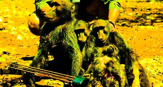 baboons shot