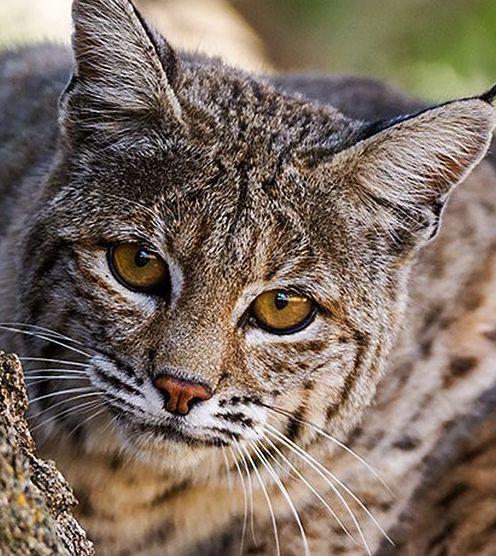 Bobcat geographic range