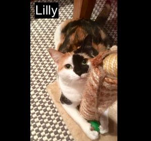Lilly a cat living with Sharon an Australian woman