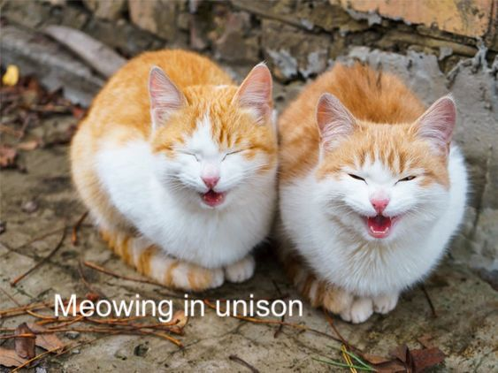 Meowing in unison