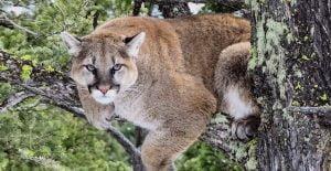 Puma climbing a tree