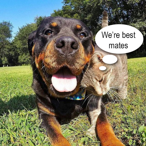 Rottweiler friends with domestic cat