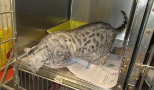Bengal cat refused entry into Hawaii