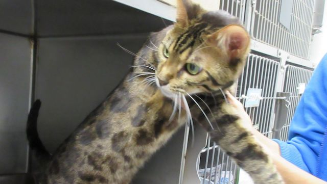 Bengal cat refused entry into Hawaii. Photo: Hawaii Department of Agriculture