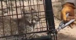 Bobcat kitten being released