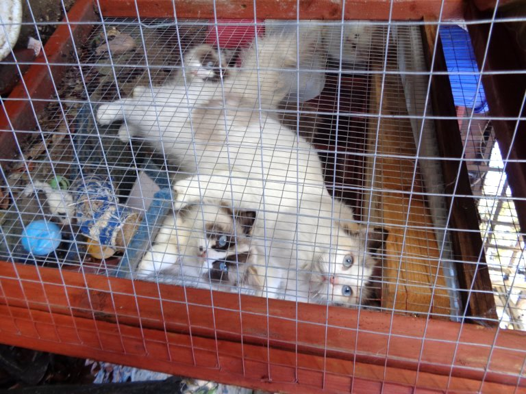 Breeder's Ragdoll cats in a cage