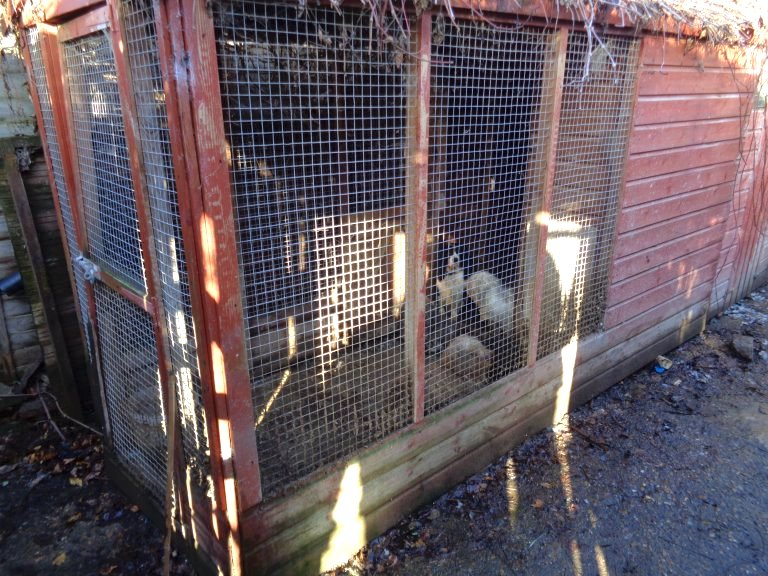 Dogs in outhouse cage