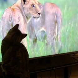 Domestic cats mesmerised by their cousin the lion on tele