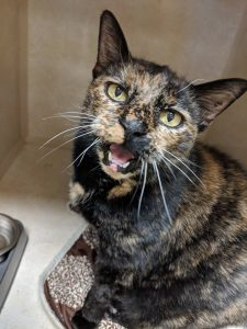 16-year-old Freckles with FIV needs a forever home