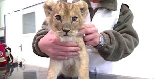 Lion cub used in France for selfie Instagram picture