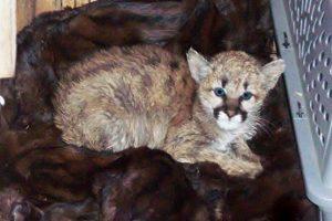 Mountain lion kitten: Photo courtesy Twitter