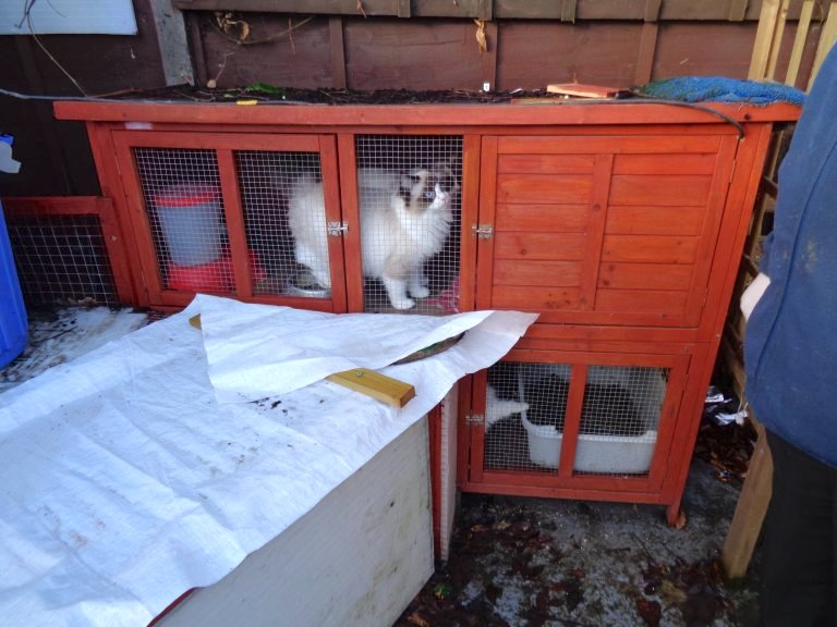 Ragdoll cat in hutch in outhouse