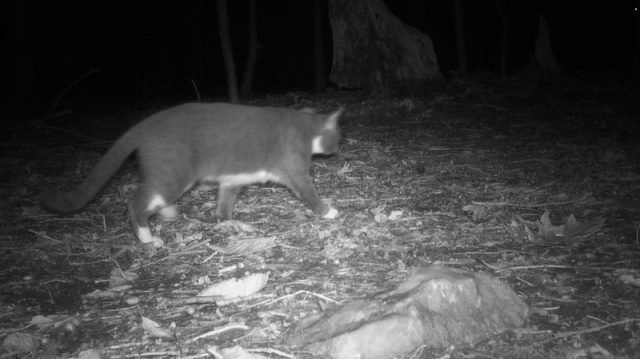 Stray cat in Washington DC caught in camera trap for nee study