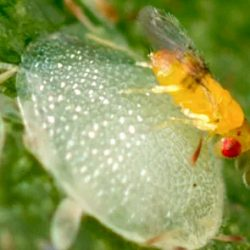 Tiny wasp is cat-safe way to eliminate moths