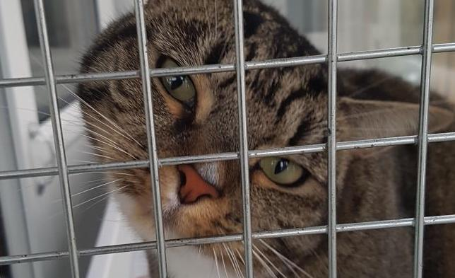 Willow is a 4 year old female tabby in the care of RSPCA Worcester & Mid-Worcestershire Branch. Photo: RSPCA