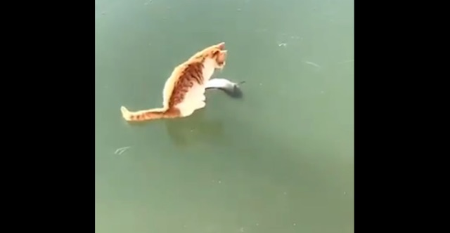 Cat plays with dead fish under ice. Screenshot from Twitter video