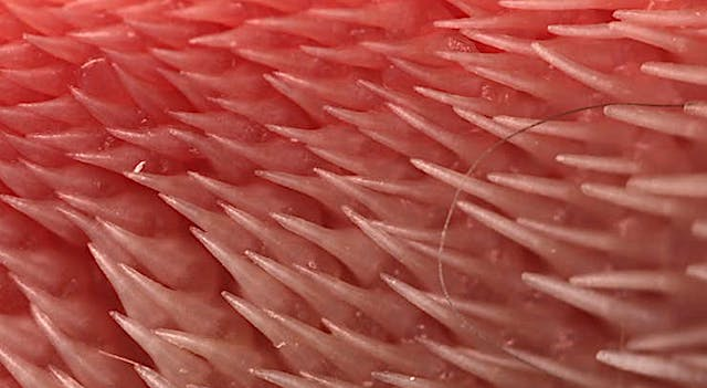 Cat tongue's showing the spines