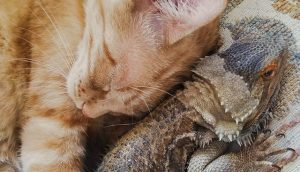 Cat friends with a bearded dragon