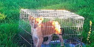 Sad picture of lion cub in a cage in a field, abandoned