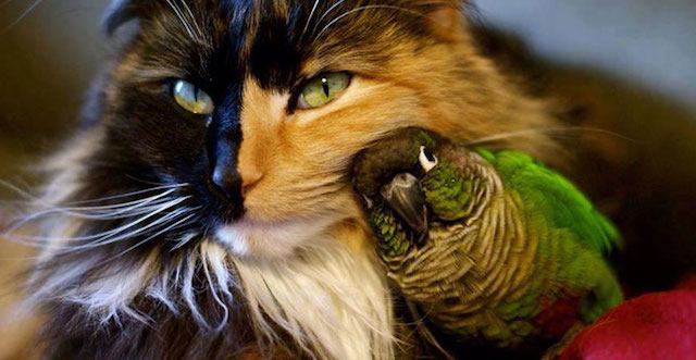 Tortoiseshell cat and beautiful parrot are best friends. Photo in public domain.