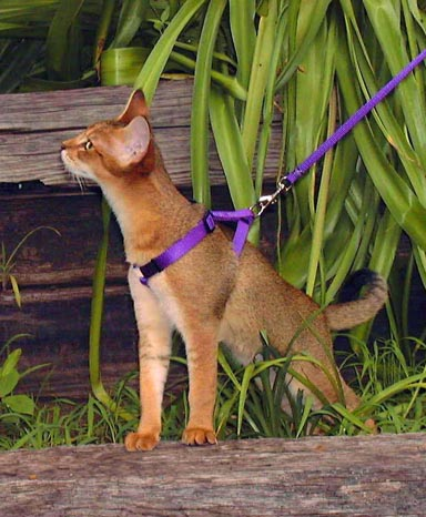 Bushwah an F1 male Chausie on a leash
