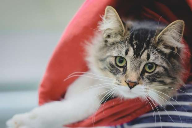 Cat who was mailed to Montreal