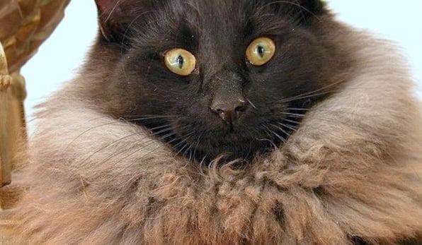 Best domestic cat mane?