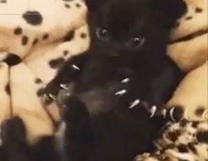 Black kitten's claws