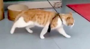 Cat moonwalking