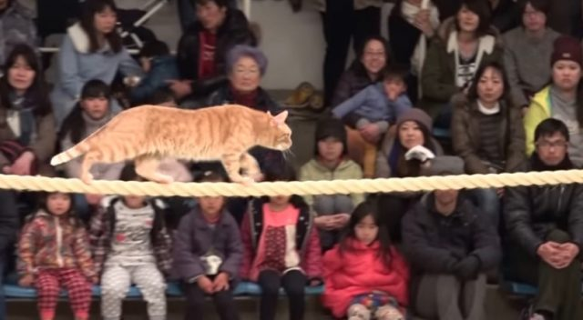 Cat show in Japan