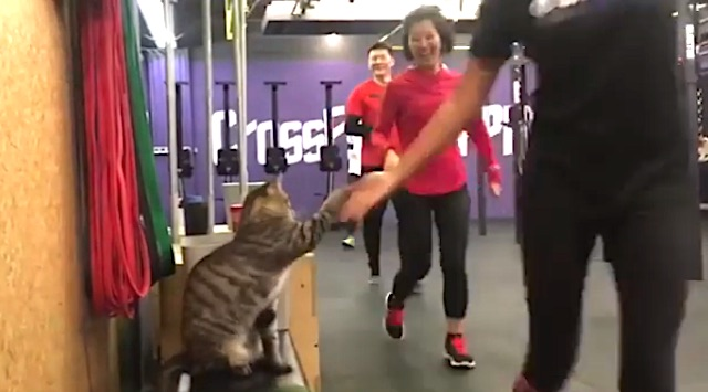 CrossFit high fives from a tabby cat