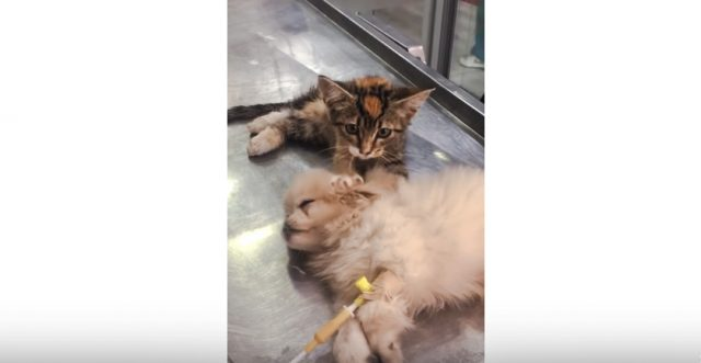 Kitten kneads puppy at vet's