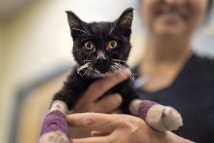 Cats and dogs burned in California Camp Fire are being healed using sterilized fish skins
