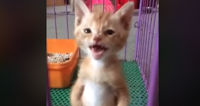 Kitten with attitude lets the world know he needs something